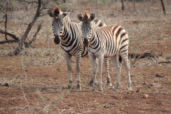 The Pursuit of Style - Zebras